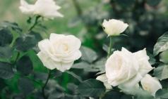 [유년의 기억] 미안, 흰장미야. 붉지 않아도 예쁘구나.