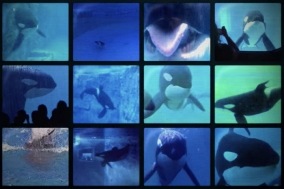 [Opinion] 범고래는 왜 'Killerwhale' 일까? [영화]