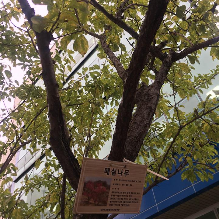 매실나무.jpg