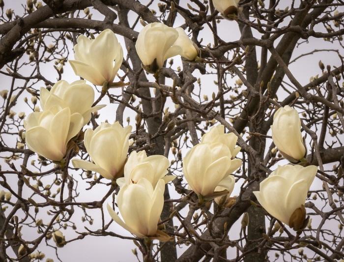 [크기변환]magnolia-2163631_960_720.jpg