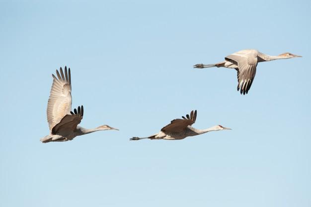 cranes-flight_19485-36087.jpg