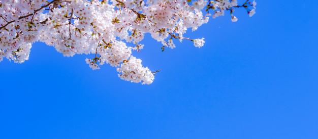 벚꽃1.jpg