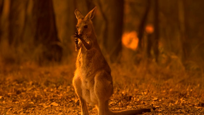 wolter peeters from fairfax media, kangaroo.jpg