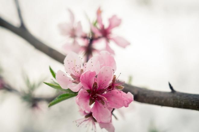 [크기변환]peach-blossom-2523391_1920.jpg
