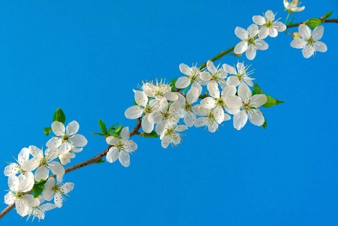 1846401464_rXOHVwjR_cherry-blossoms-6196363_1920.jpg