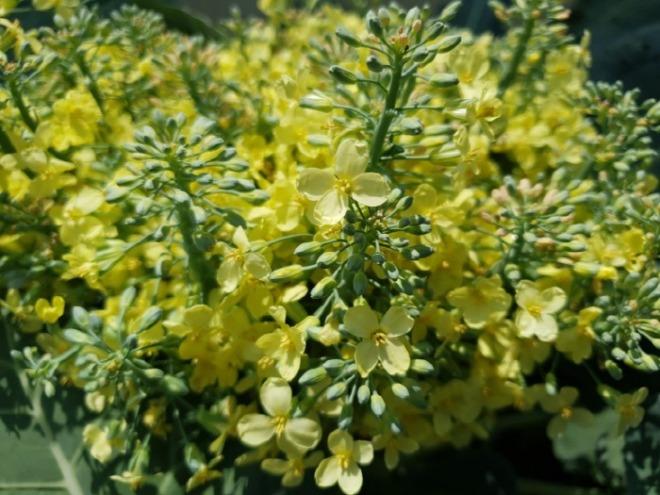 [크기변환]브로콜리 꽃.jpg
